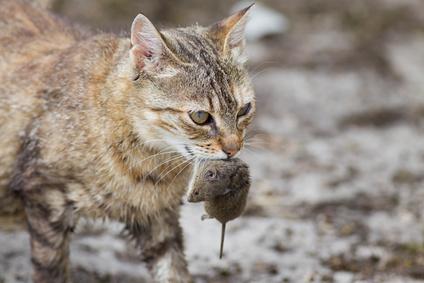Katze Halten Naturlicher Fressfeind Von Mausen Mause Fangen